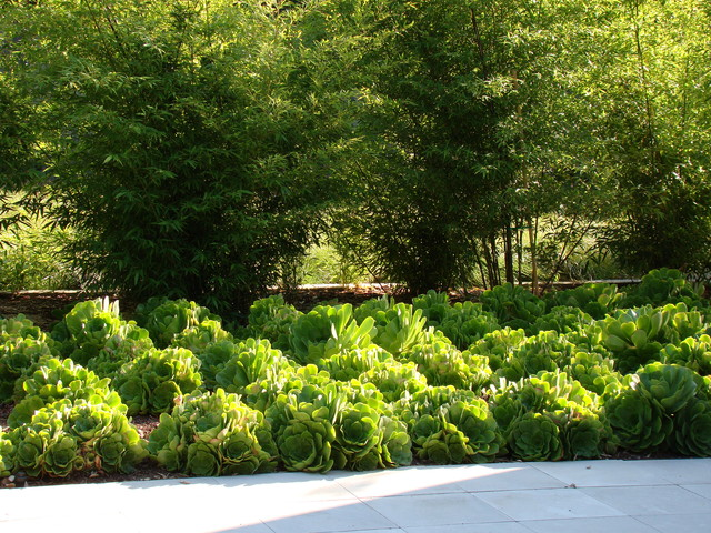 Drought Resistant Landscaping Landscape Contemporary with Aeonium Bamboo Drought Tolerant
