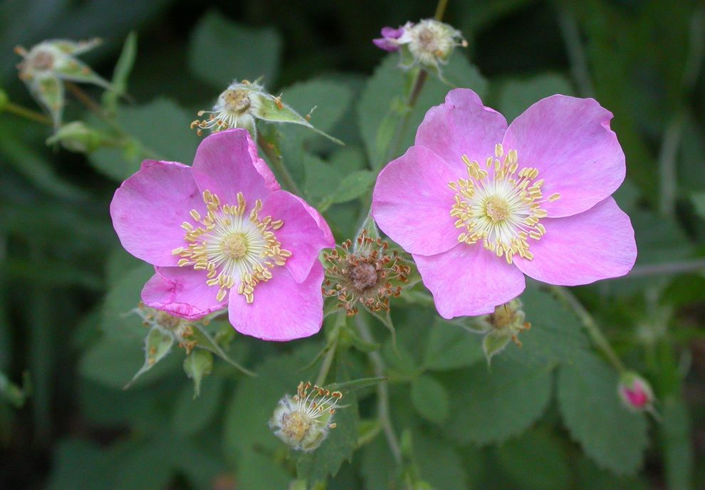 Rosa Californica Easy Plants to Grow for Landscape Outdoor Photos Mulch Ideas