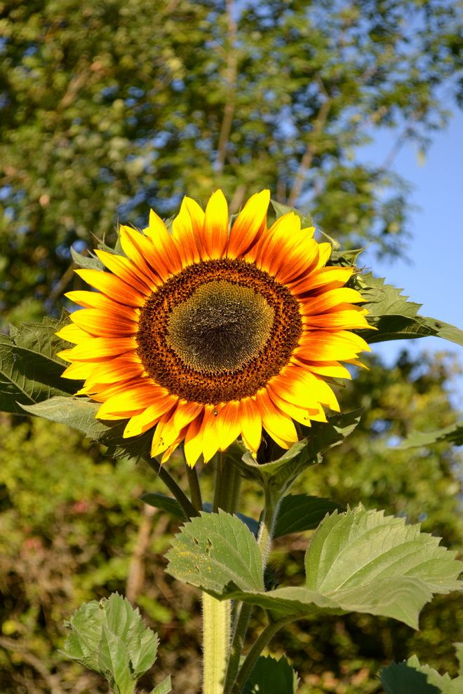 Sunflowers Growing Avocado From Seed for Traditional Landscape Outdoor Photos Landscape Architects and Designers